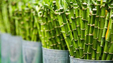 como cuidar el bambu